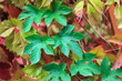 Background of wild grapes with red, green and yellow leaves.
