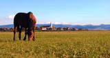 A horse grazing in the Carpathian mountains near a small Transylvanian village in Romania.  - 176709485