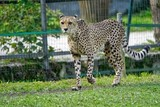Cheetah - 176715073