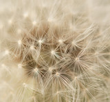 dandelion with seeds - 176716880