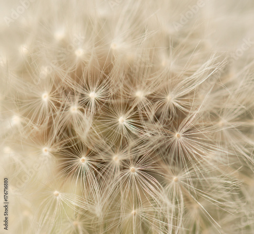 dandelion with seeds © studybos