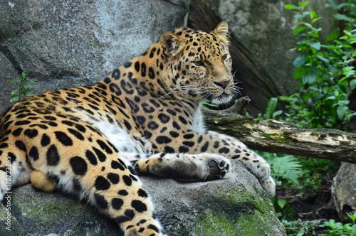 In de dag Panter Amur Leopard