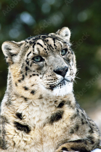close up of snow leopard