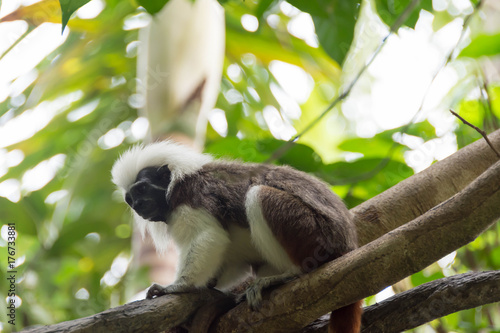 Cotton top tamarin playing on a tree Poster