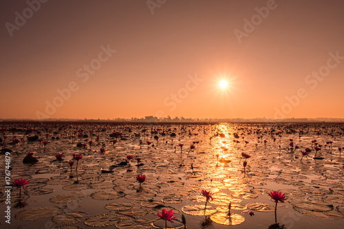 Sunrise over the pond of lotus water lily Poster