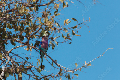 lilac bird Plakat