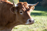 head of a cow with horns - 176746617
