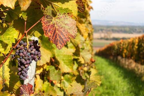 Fotobehang Planten Autumn morning on the vineyard in the Czech Republic. Preparation for harvesting grapes.