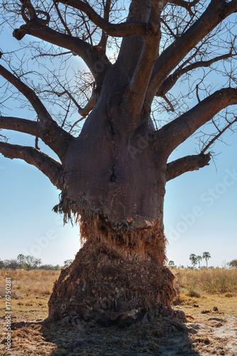 Aluminium Baobab Old tree in Kalahari desert
