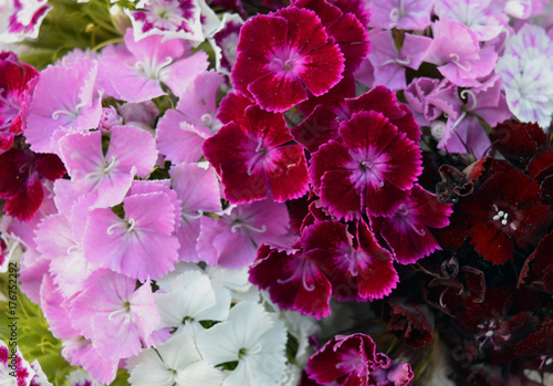 Aluminium Azalea pink nature bright white carnation red pink and white blooms in the garden pattern texture