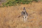 Zebra - 176757693