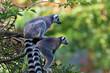 Lemur maki catta of Madagascaer sitted on a tree's branch