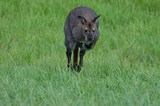Wallaby in the grass - 176758841