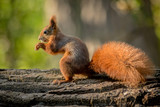 Squirrel animal in natural environment - 176761277