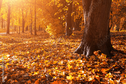 Foto op Plexiglas Oranje eclat Autumn forest landscape. Fallen autumn leaves covering the ground and forest autumn trees