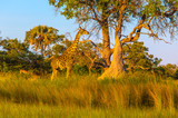Safari in Botswana - 176762674