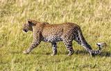 Wild leopard in the Masai Mara - 176765053