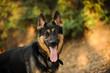 German Shepherd dog outdoor portrait in nature