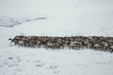 A herd of deer in the snowy mountains. Polar Urals. Yamalo-Nenets Autonomous Okrug. - 176766057
