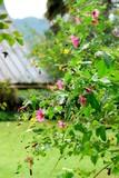 Mauve du Cap en fleurs dans un jardin du sud de la France - 176768028