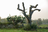 Olive trees dying for annoying xylella in Salento - Italy