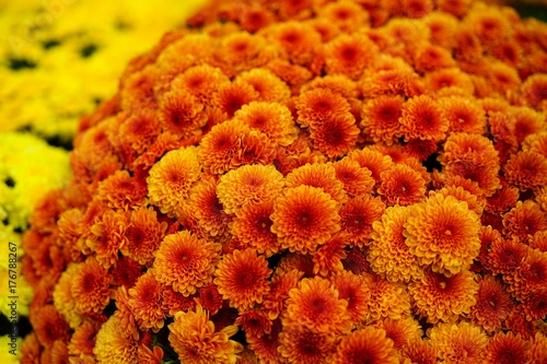 Colorful orange chrysanthemum flowers in the fall - 176788267