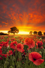 Red Poppies fields under dramatic skies near sunset