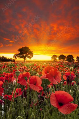 Foto op Plexiglas Klaprozen Red Poppies fields under dramatic skies near sunset