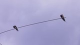 swallow birds perched on a pole together 4k - 176789844