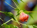 Physalis alkekengi (Chinese lantern) flower - 176790276