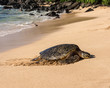 Sea Turtle, North Shore, Laniakea Beach, Oahu, Maui