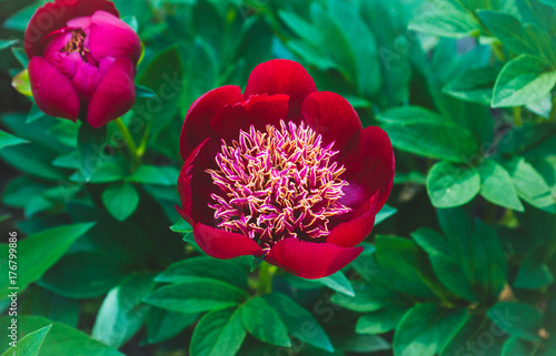 Fototapeta Red peonies blossoming in the garden. Shallow depth of field.