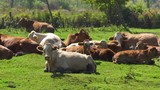 cow herd laying down in heat panning 4k - 176805085