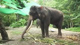 Large elephant with tusks stock footage video