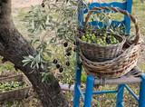 Beginn der Olivenernte - 176806285