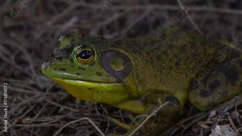 big bullfrog closeup in forest 4k