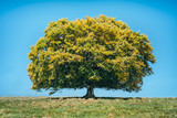A large solitary beech in the meadow in autumn - 176818266