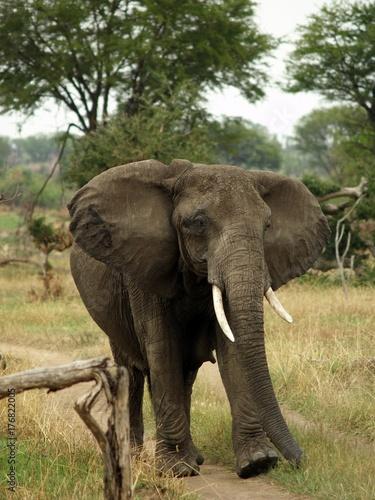 African elephant Tarangire, Tanzania Poster