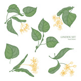 Beautiful detailed botanical drawings of linden green leaves and blooming yellow flowers. Hand drawn parts of flowering tree, view from different angles. Natural realistic vector illustration. - 176828007