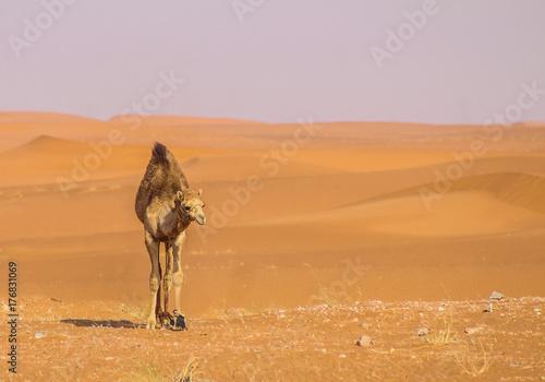 Fotobehang Kameel A camel in desert