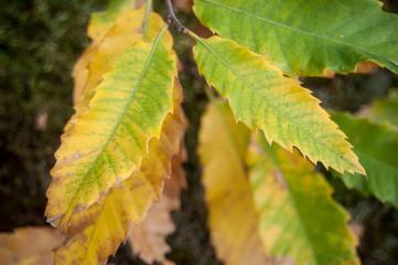feuilles de châtaignier en automne