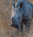 White Rhino in South Africa - 176837654