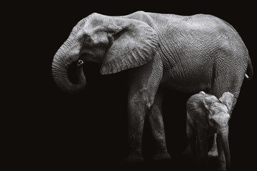 African elephants black and white.