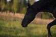 Portrait of  beautiful black stallion at pasture