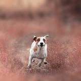 Dog running at autumn - 176844405