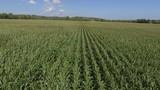 aerial green corn crop blowing in the wind low flight 4k - 176848228