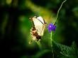 Papillon blanc butinant une fleur bleue - 176854056