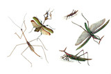 Illustration of grasshoppers and locusts, on a white background.