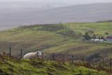 Sheep in the mountains - skye isle, Scotland - 176867260