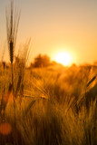 Barley Farm Field at Golden Sunset or Sunrise - 176868006